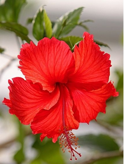 Hair tips - Chinese Hibiscus